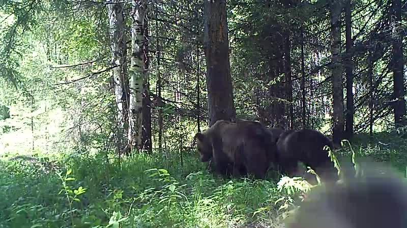 Медведица с медвежатами в Висимском заповеднике