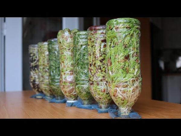 Đơn giản nhanh Trồng mầm hỗn hợp và gỏi cuốn Simple fast Growing mixed sprouts spring rolls