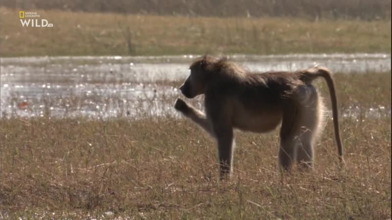 National Geographic Wild ᴴᴰ Бойцовский клуб для животных