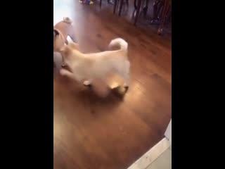 Как сказать глухой собаке, что пора на прогулку