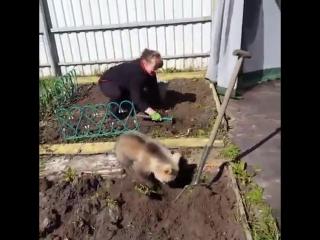 Обычный день в России. Медведь помогает на даче сажать картошку.