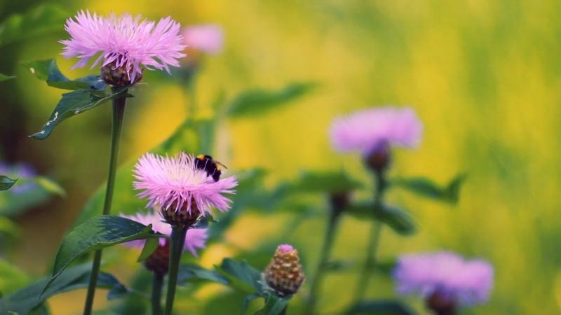 Футаж Василек Красивые цветы Васильки и пчелы Футажи footage красивая природа FullHD