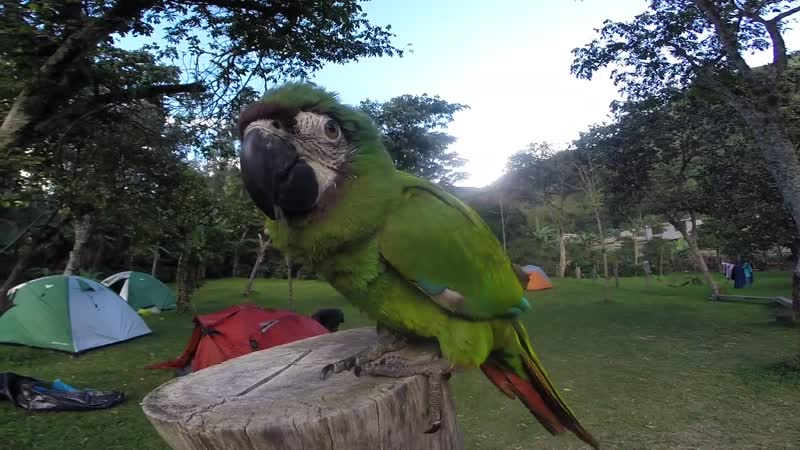 Parrot on trekking to machu picchu
