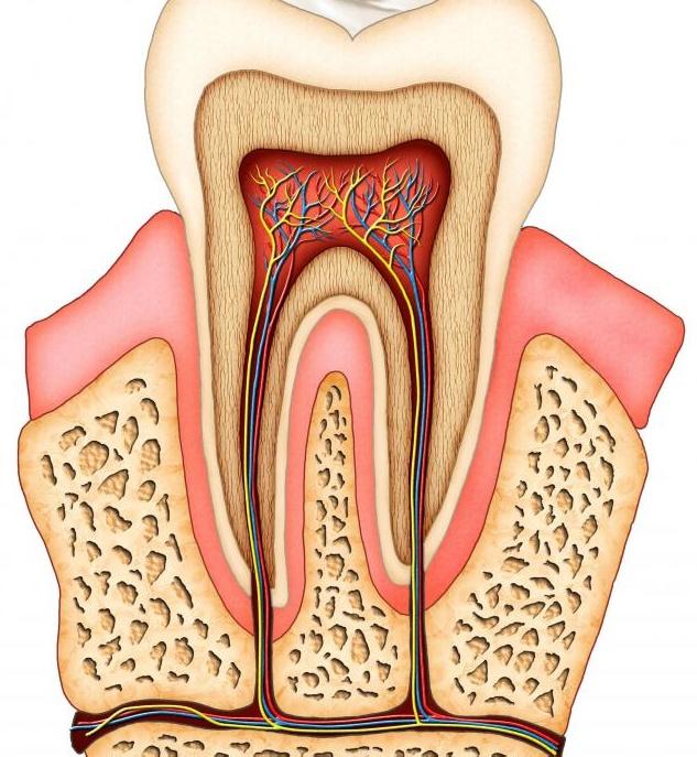 Поперечное сечение зуба.