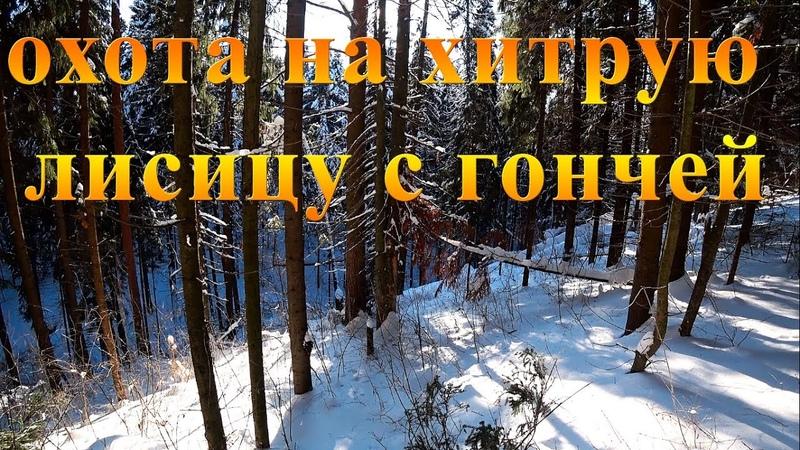 Охота на хитрую лисицу с русской гончей в условиях мороза и глубокого снега Кировская область