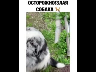 Злая собака, которая залижет до смерти