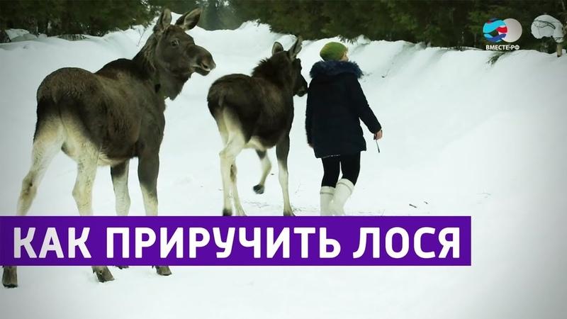 Одомашнивание лосей в Печоро-Илычском заповеднике. Заповедники РФ