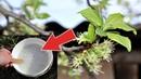 Ни одной червивой сливы и вишни не будет! Обработайте этим после цветения для супер урожая!