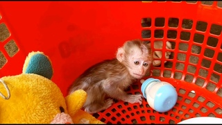 Monkey Molly Cries When Can't Drink Milk