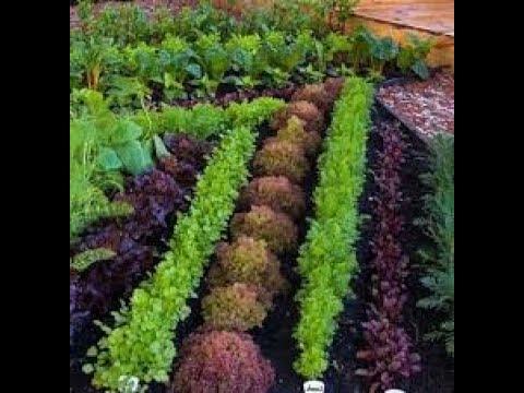 Рубрика Во саду ли в огороде Тема Выращиваем пряную витаминную зелень на еду