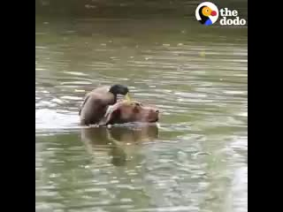 - Duck Loves It When His Dog Brother Takes Him Swimming _ The Dodo Odd