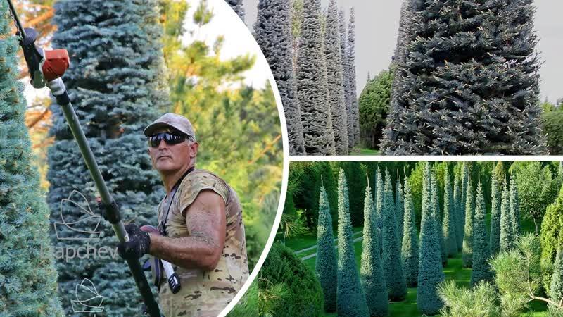 Ляпчев topiary Чистка конусов
