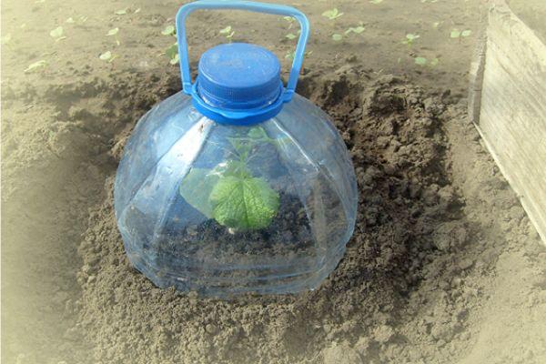 Интересный способ выращивания огурцов