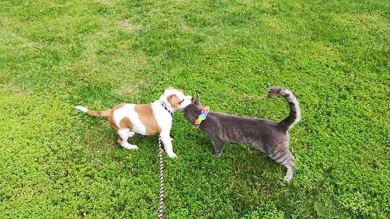AKC STAFFORDSHIRE BULL TERRIER PUPPY 10 weeks old with Kitty