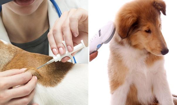 Россиян заставят регистрировать и чипировать своих домашних животных. В правительственную комиссию поступил законопроект об обязательной идентификации животных с помощью татуировок и чипов.