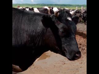 Под Вологдой суд признал коня виновным в смерти коровы