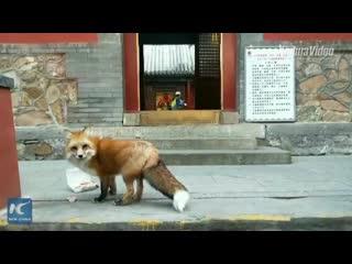 Лисицу подкармливают в китайском храме