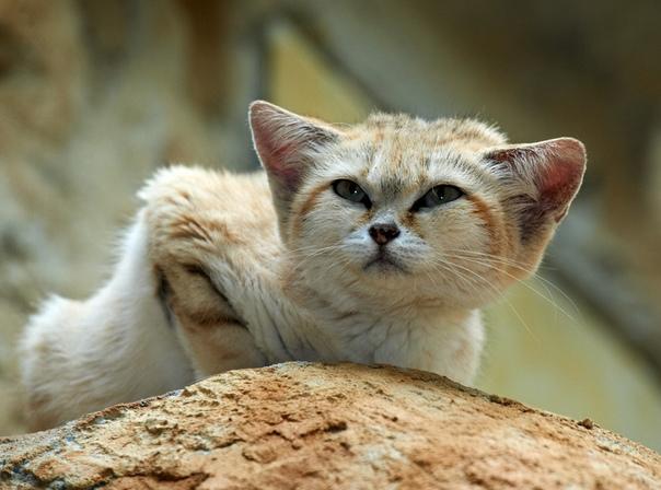БАРХАННЫЙ КОТ (Мат 18,) Все знают: я котиков не люблю. А вот про этого напишу. Потому что, во-первых, у него смешное ебло, во-вторых, он далеко, в Северной Африке и Средней Азии, в-третьих, он