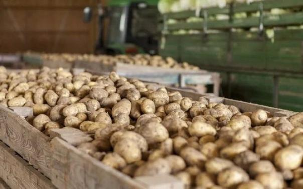 Какой картофель лучше не употреблять в пищу и почему он опасен