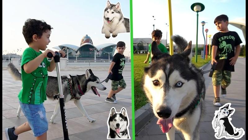 Прогулка с собачкой породы ХАСКИHUSKY.Дети гуляют с собакой хаски husky DOGVLOG with husky