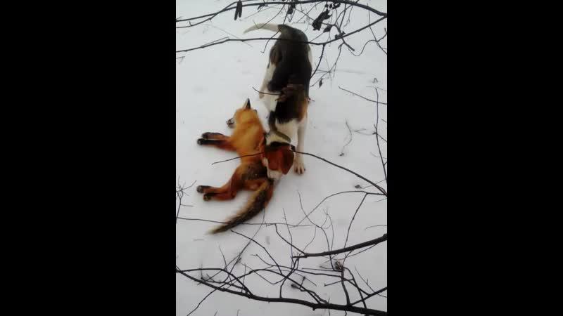 Первая самостоятельная добычливая охота выжлеца русско пегой гончей по лисе 9мес и 1день
