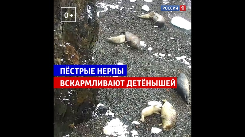 Ларги или пёстрые нерпы вскармливают детёнышей Россия 1