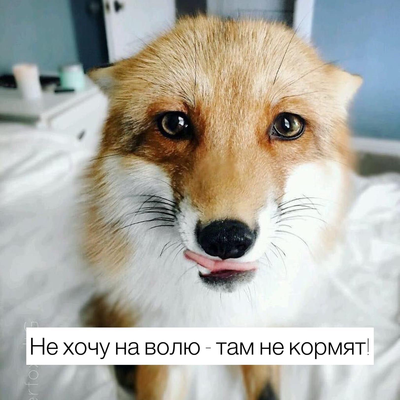 Россиянам запрещено держать дома лисиц — Верховный суд РФ