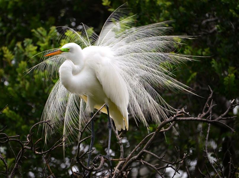 Большая белая цапля в брачном наряде с выраженной на спине «накидкой» из длинных, ажурных перьев — так называемых «эгреток»