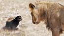МЕДОЕДУ ПОФИГ! Самый БЕССТРАШНЫЙ зверь! Медоед против леопарда, льва, змей