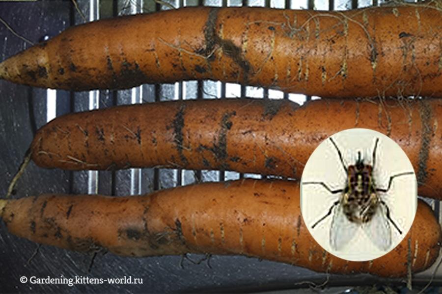 Четыре эффективных средства борьбы с морковной мухой