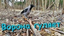 Ворона, которая гуляет сама по себе