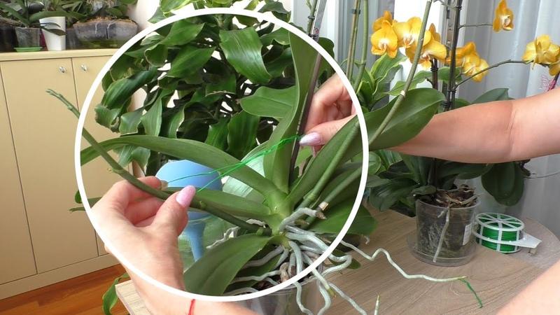 Как я поднимаю цветоносы орхидеям Орхидея Лиодора удивляет Орхидея Лас Вегас Орхидея Бэби Фейс