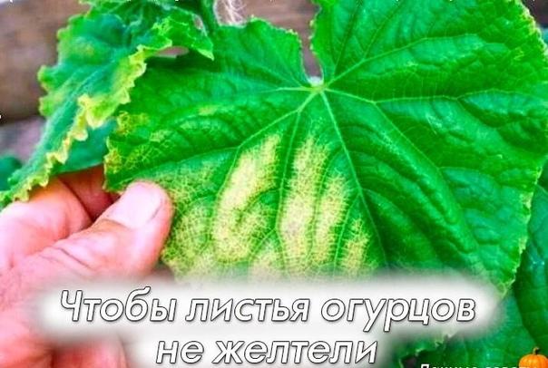 Чтобы листья огурцов не желтели Как бороться с пожелтением листьев у огурцов Многих садоводов волнует эта проблема. Итак, читаем.1. После появления всходов в фазе 3-4 листочков огурцы нужно