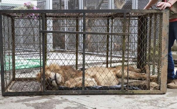 В Колумбии зоозащитники конфисковали у владелицы заповедника льва и довели его до истощения Ана Джулия Торрес более 30 лет руководит заповедником Вилла Лорена в городе Кали. 20 лет назад она