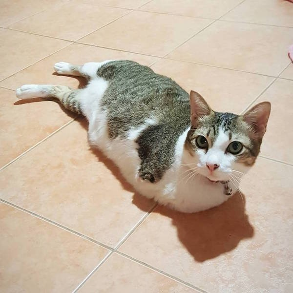 Кошка-кенгуру история жизни кошки, потерявшей лапки и хвост. Однажды в Тайланде кошка шла куда-то по своим делам. В какой-то момент внимание её привлекла птица, за которой она и погналась.