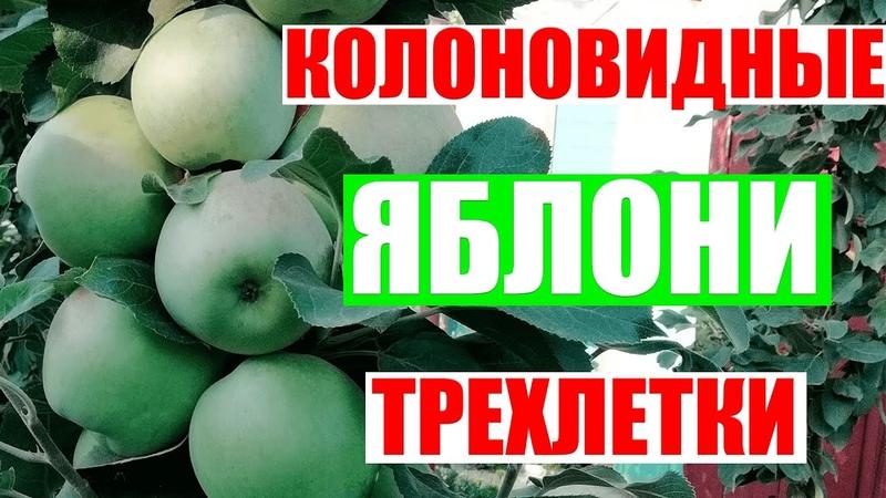 Колоновидные яблони Формировка колоновидных яблонь трехлеток летом RinaStars