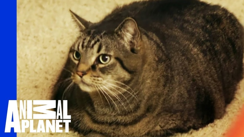 Beau Nugget The Cat Starts His Difficult Weight Loss Journey My Big Fat Pet Makeover
