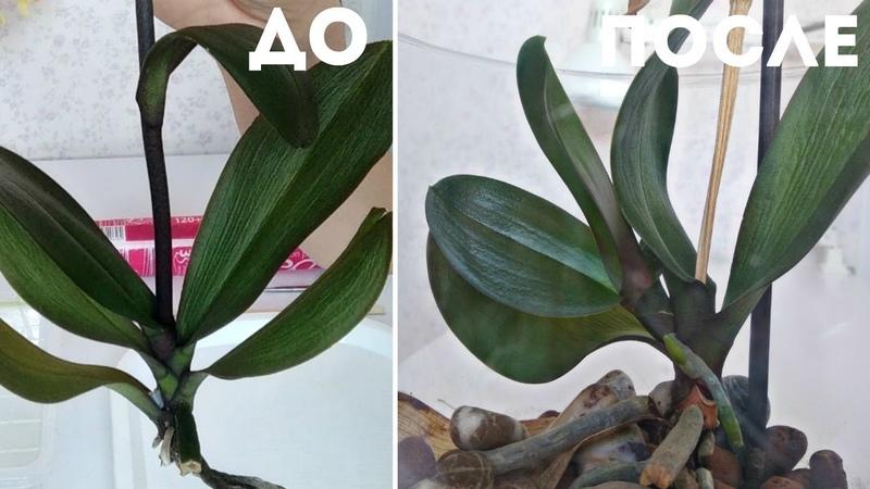 ЦВЕТОНОС из ТОЧКИ РОСТА Успешная реанимация фаленопсис Орхидея фаленопсис