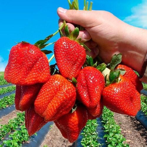 Клубника - роскошная, всеми любимая ягода!